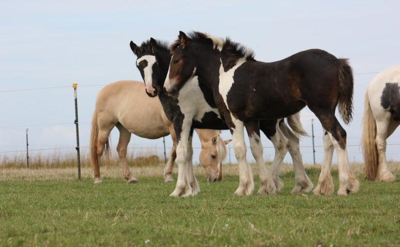 Die kleinen Pferde-Leute von Swabedoo