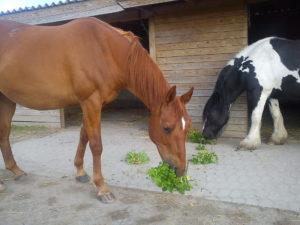 Zweige der Heckenrose für Pferde