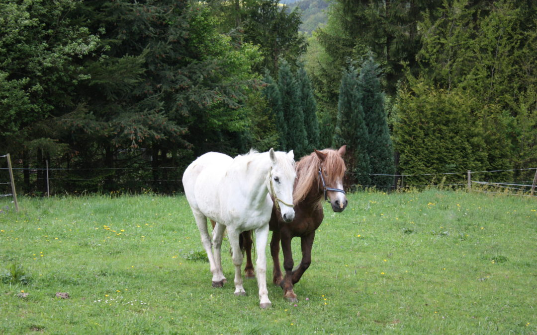Bach-Blüten bei Trauer und Heimweh von Pferden