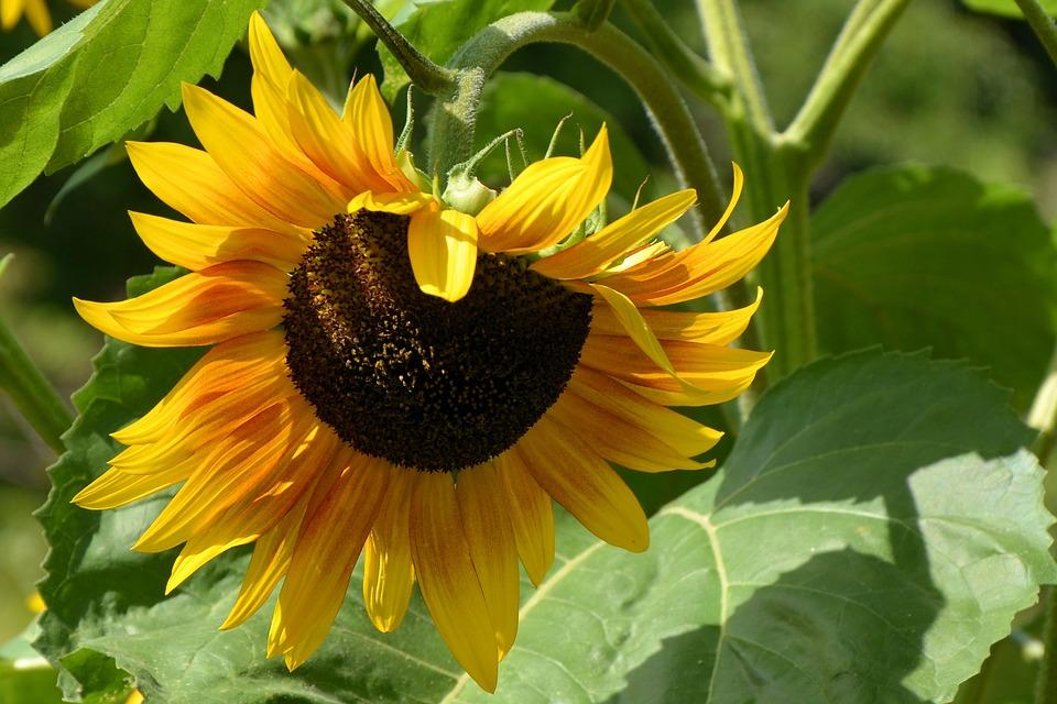 Sonnenblumenkerne –  mitten im Winter Sonnenenergie für Pferde