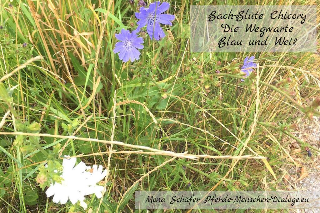 Bachblüte Chicory Blau und Weiß