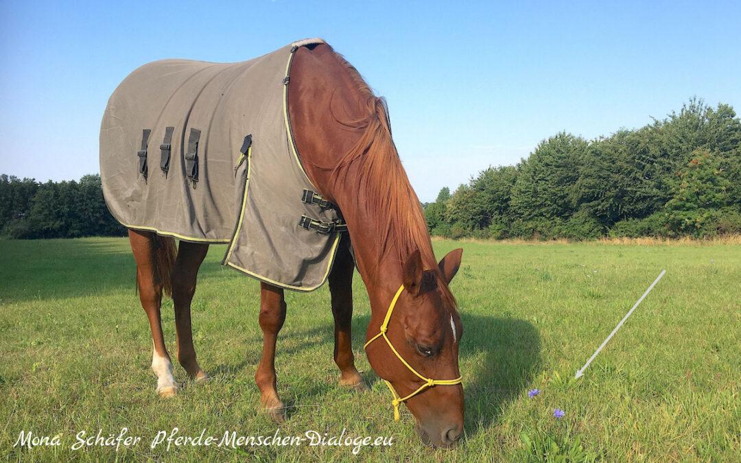 Chicory Wegwarte auf der Pferdekoppel