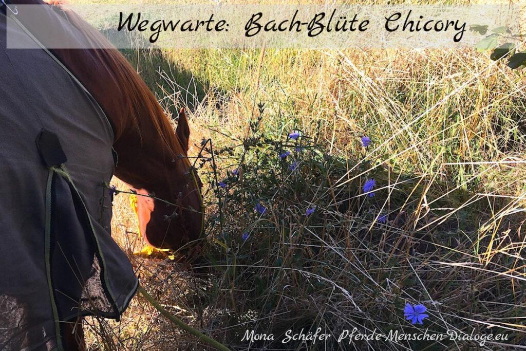 Bachblüte Chicory für Pferde
